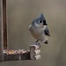 Hungry Titmouse by thoeflich