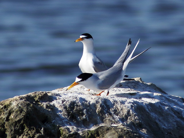 Least Tern pair interactions 05-20140410