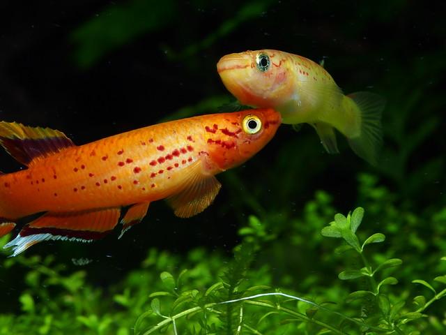 P4151055 黃金火焰鱂