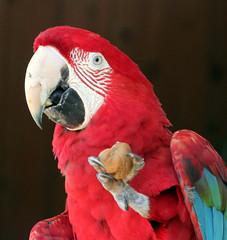 Macaw has a walnut
