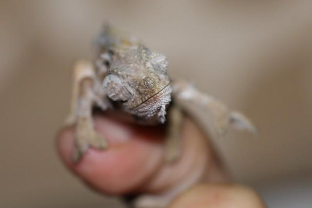 Juvenile von hohnels chameleon