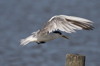 Great Crested Tern  Thalasseus bergii