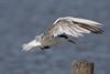 Great Crested Tern  Thalasseus bergii