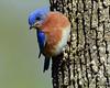 DSC_3214=3Bluebird