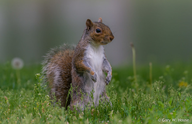 Squirrel on the National Mall