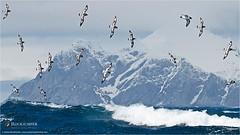 Cape Petrels by Dušan Brinkhuizen