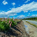 Small photo of Lupins along the road ...NZ