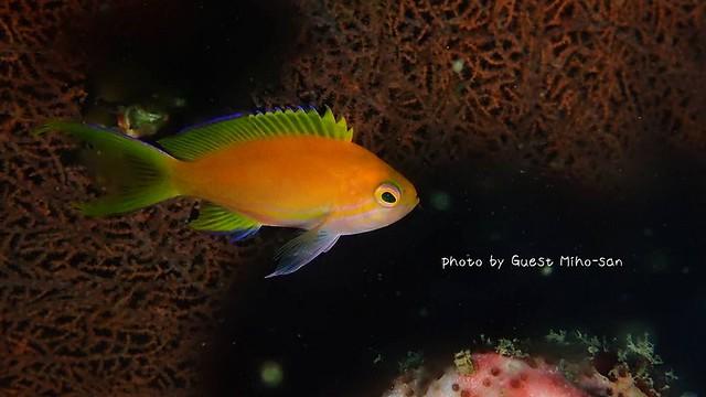 これはスミレナガハナダイ幼魚ちゃんかなぁ。