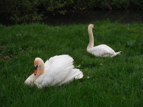 Swans by the River Uck