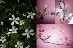 Cerastium arvense Linnaeus ssp. arvense. - Field Chickweed