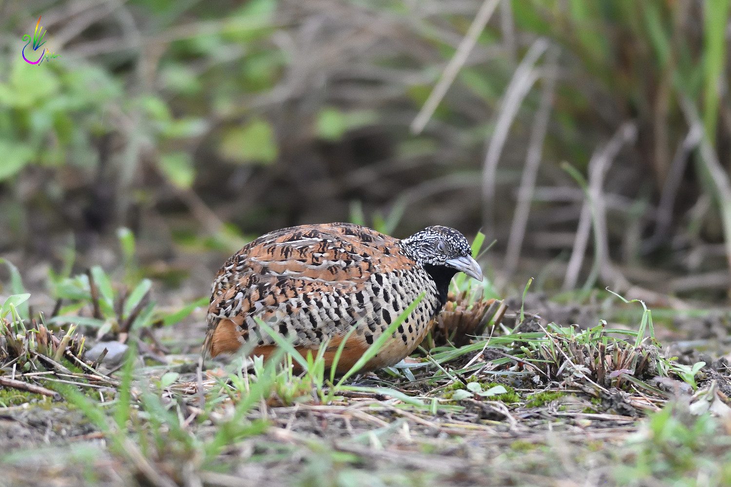 Barred_Buttonquail_2072