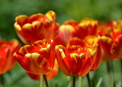 Tulips on Fire