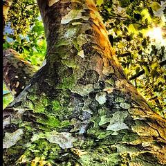 Study of a neighborhood #tree while #walking home