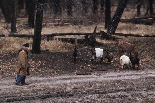 Russian man herds goats beside the railway tracks