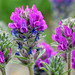 Fassett's locoweed flower. by U.S. Fish and Wildlife Service - Midwest Region