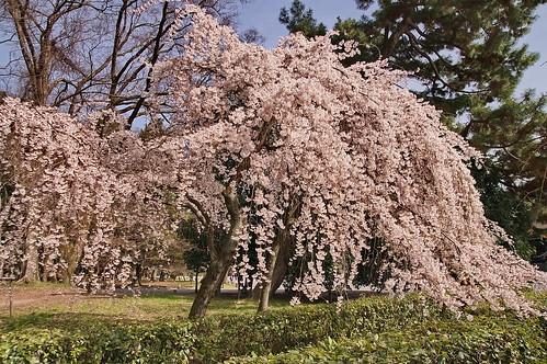 【写真】2013 桜 : 京都御苑/2020-10-30/IMGP8687