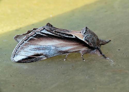 Swallow Prominent - Pheosia tremula