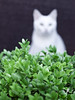 Boxwood Kitteh