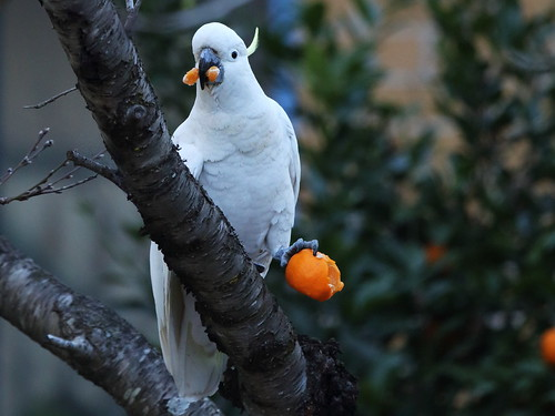 Sulphur_crested_Cockatoo_1C0A5651