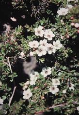 Baeckea gunniana (Alpine Baeckea, Alpine Myrtleheath)