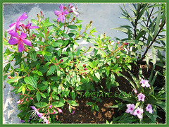 Tibouchina mutabilis, Ruellia simplex (purple flowers), Ruellia brittoniana 'Bonita' (pink flowers) - Aug 31 2013