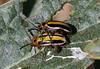 Three-lined Potato Beetle (Lema daturaphila) by kaeagles
