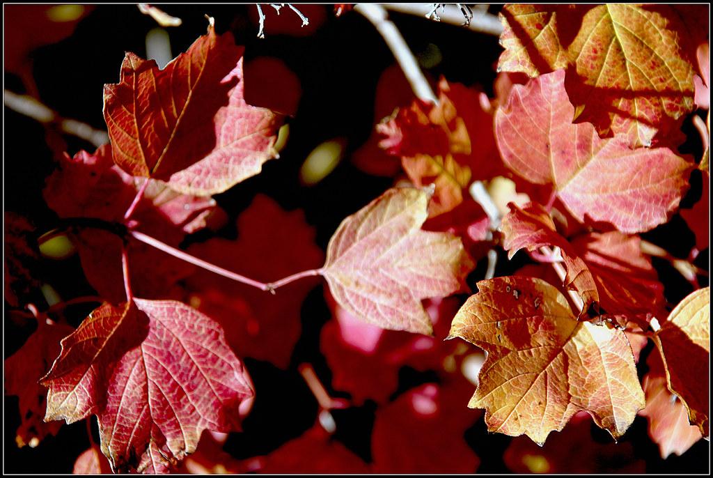 las plantas de las grosellas y sus colores de otoño