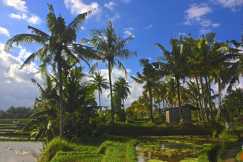 rice paddies and palm trees