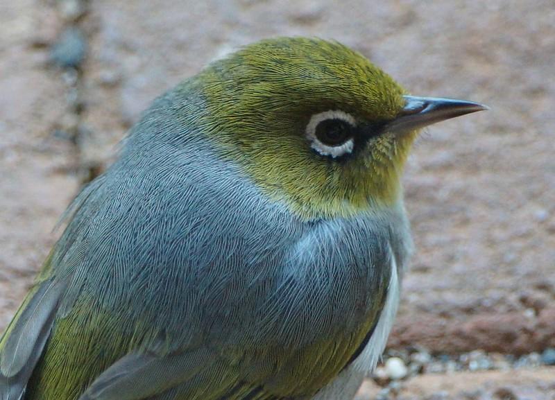 Silvereye | BIRDS in BACKYARDS
