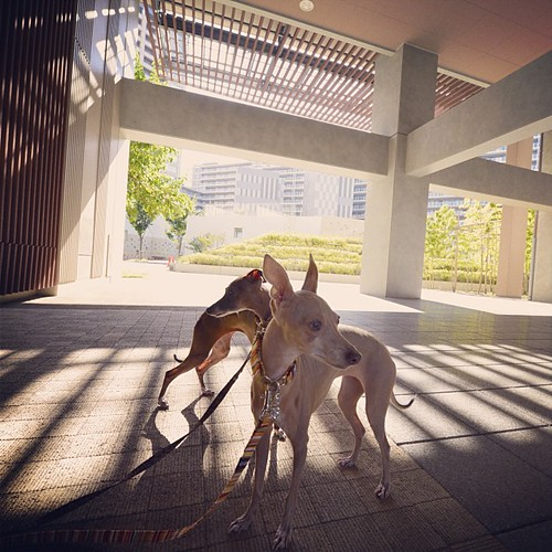 #おはよう #goodmorning #iggy #italian #instadog #instagood #italiangreyhound #italienskvinthund #piccololevrieroitaliano #petitlevrieritalien #life #like #love #nice #autumn #amazing #japan #julia #day #diana