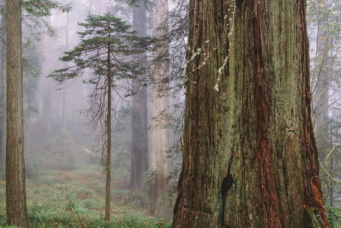 trees forest redwoods california big small nature bark canon mist foggy fog scenery canoneos7d canonef2470mmf28lusm johnwestrock