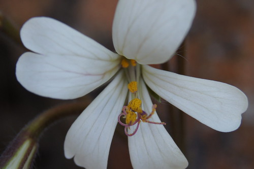 P. barklyi, flower