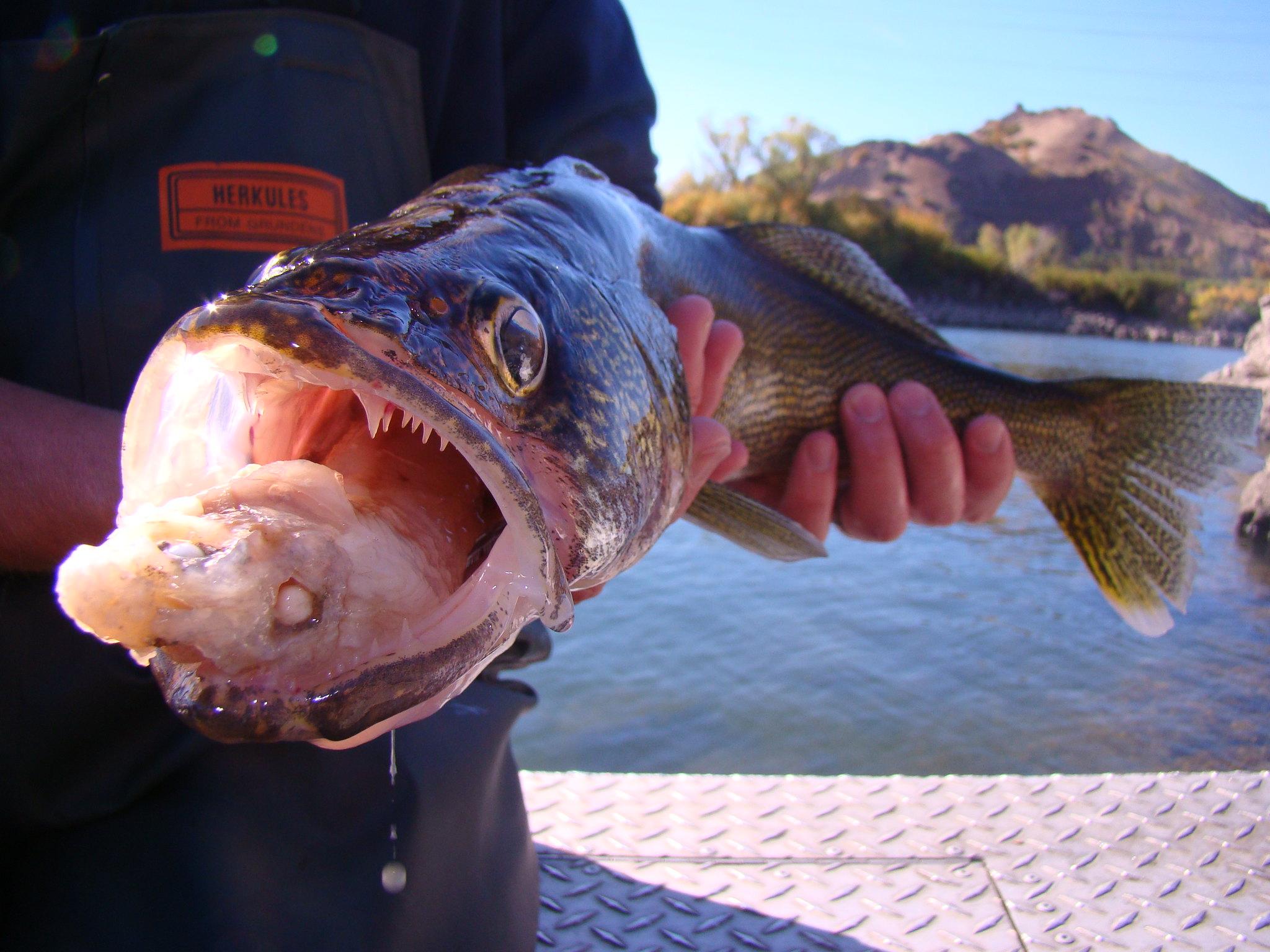 Columbia river walleye flickr photo sharing for Walleye fishing columbia river