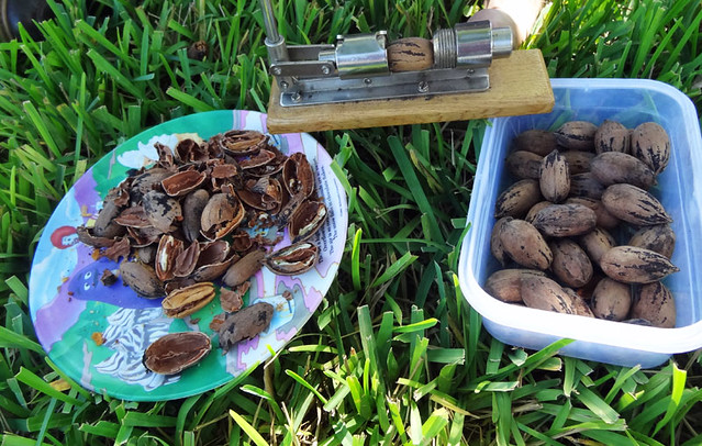 pecans-from-trees