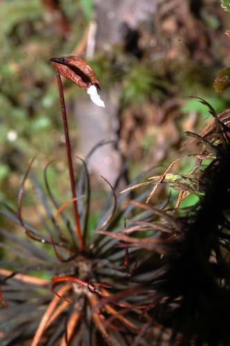 Dawsonia polytrichoides Mt Hypipamee DSC_0675