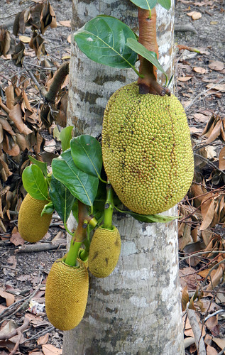a jackfruit tree growing in the Mekong Delta, Vietnam