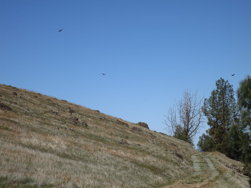Turkey vultures floating over the Ohlone Trail in Del Valle Regional Park.