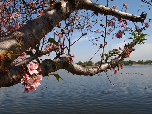 Lake Balboa Cherry Blossoms 2014 - 35