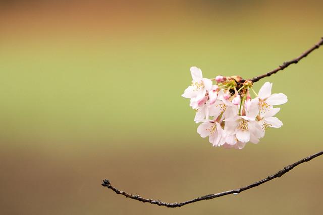 大宮公園の桜 2014