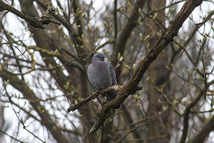 Stock-Dove_April-03,-2014_Milton_Keynes