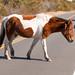 Assateague Island Paint Pony