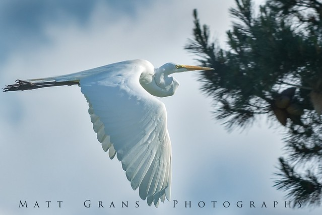 Egret fly-by