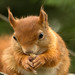 Red Squirrel by Robertoboy - Creative Nature & Wildlife