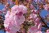 Rosa Kirschblüten unter blauem Himmel