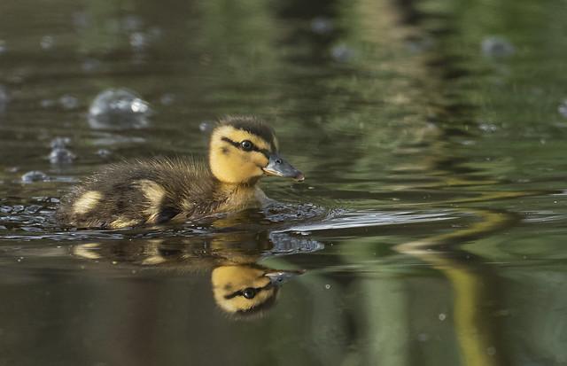 Mallard duckling reflection