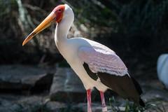 Yellow Billed Stork Glowing