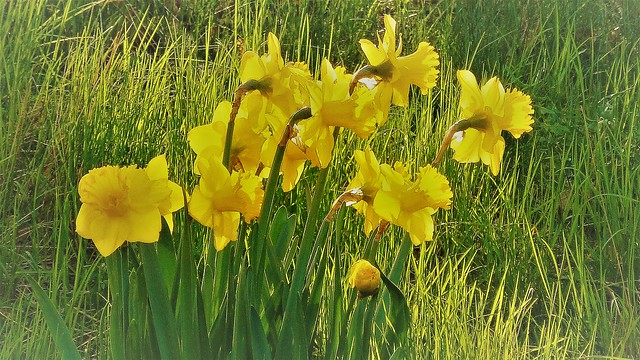 My daffodils on a spring morning - Мои нарциссы весенним утром - Mes jupes au printemps matin - Meine Narzissen an einem Frühlingsmorgen - Narsissini keväisin aamulla