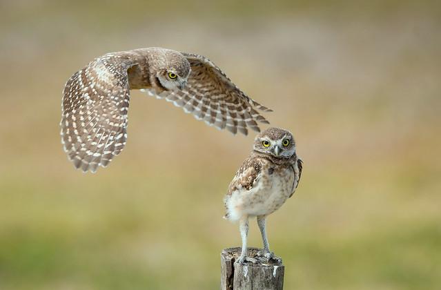 Burrowing Owlets - Not, Nikon D500, AF-S VR Nikkor 500mm f/4G ED