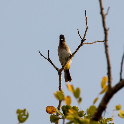 pycnonotustricolor darkcappedbulbul krugerpark mpumalanga southafrica