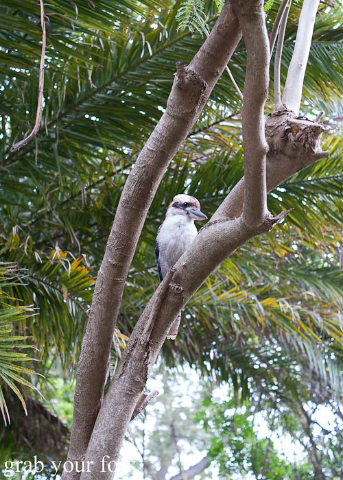 kookaburra in sydney australia backyard tree at a stomachs eleven japanese dinner